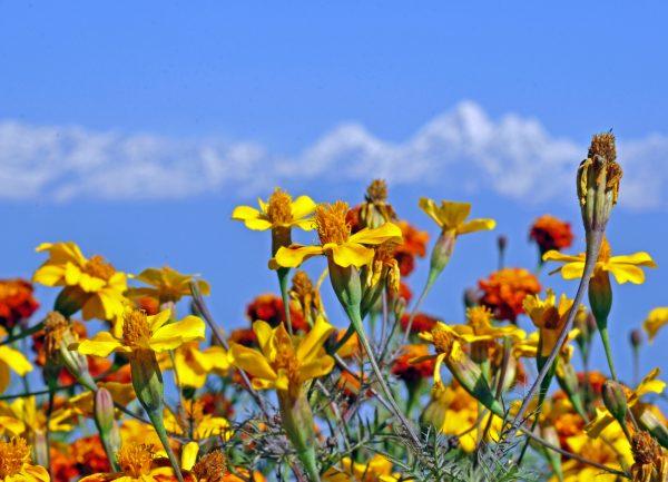 Blumen im Himalaya Massiv