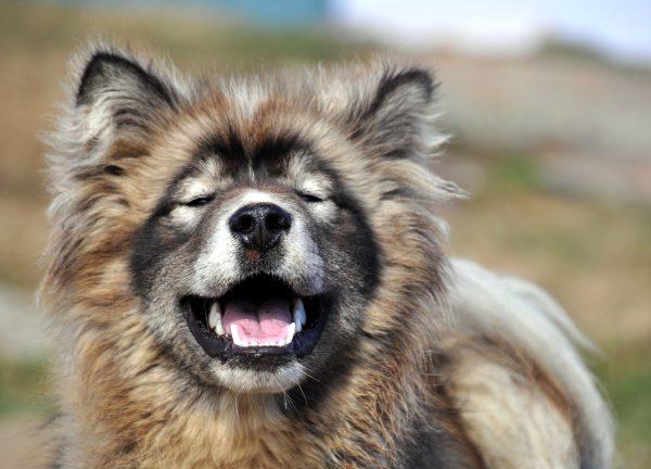 Grönland-Hund in Kulusuk im Osten von Grönland