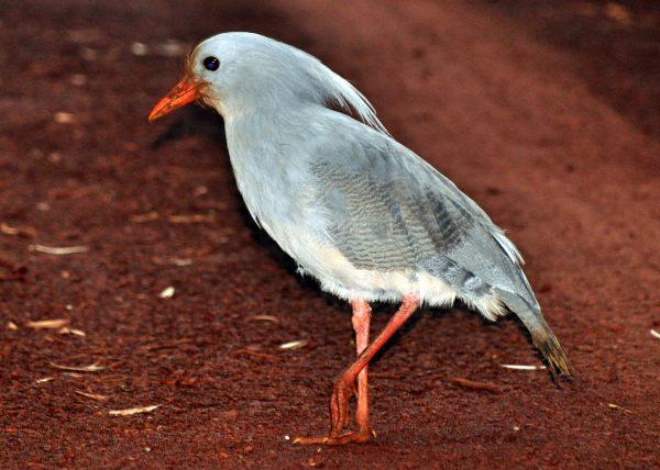 Ein junger Cagou (ein Vogel der nicht fliegen kann)