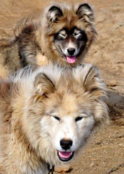 Huskies in Kulusuk auf Grönland