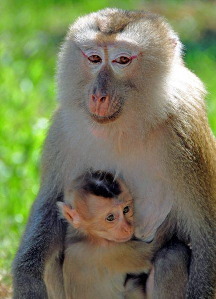 Makaken-Mami und Makaken-Baby im Nationalpark Khao Yai