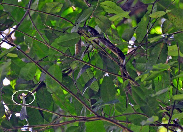 Eine (hoffentlich ungefährliche) Schlange im Nationalpark Khao Yai