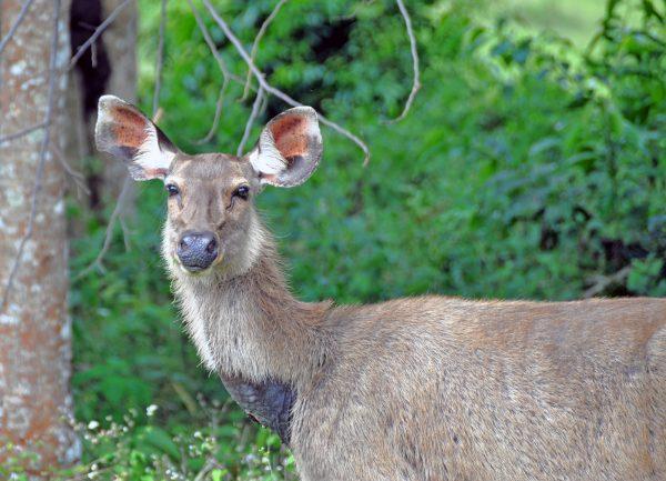 Ein Weibchen des Sambar-Hirsches im Nationalpark Khao Yai