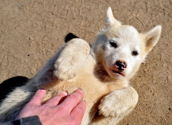 Grönlandhund im Osten von Grönland