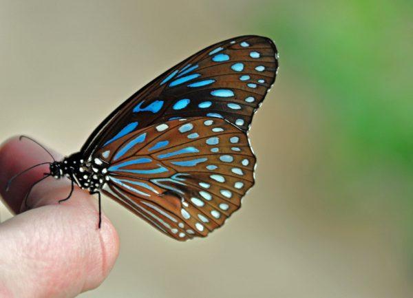 Ein schöner Schmetterling sucht Kontakt im Nationalpark Khao Yai