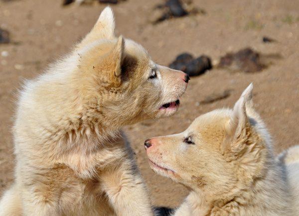 Grönlandhunde im Osten von Grönland