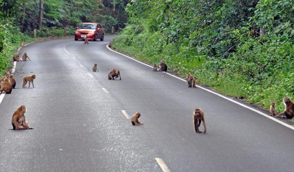 Planet der Affen, Teil 47.11 (im Khao-Yai Nationalpark)