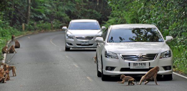 Planet der Affen, Teil 47.12 (im Khao-Yai Nationalpark)