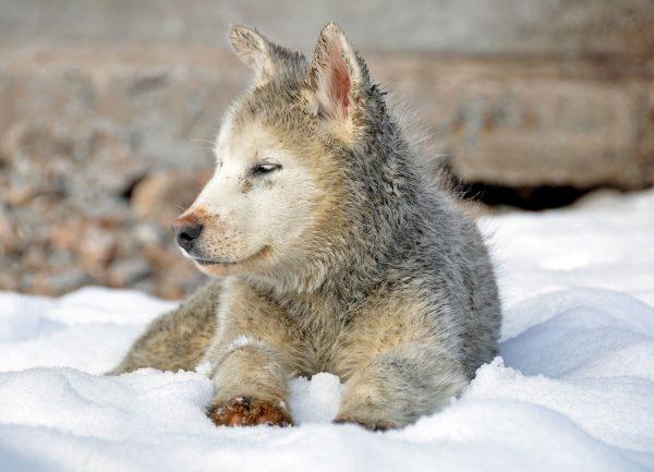 Ein Hund in Ittoqqortoormiit
