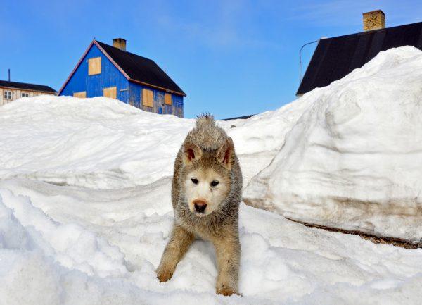 Ein Hundi in Ittoqqortoormiit