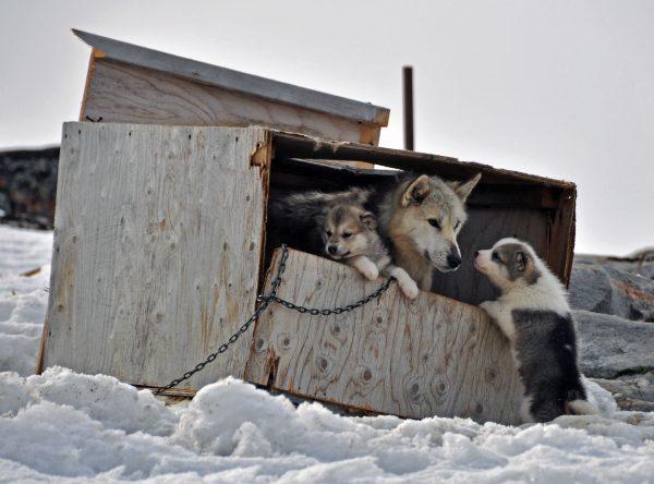 Hundies in Aasiaat