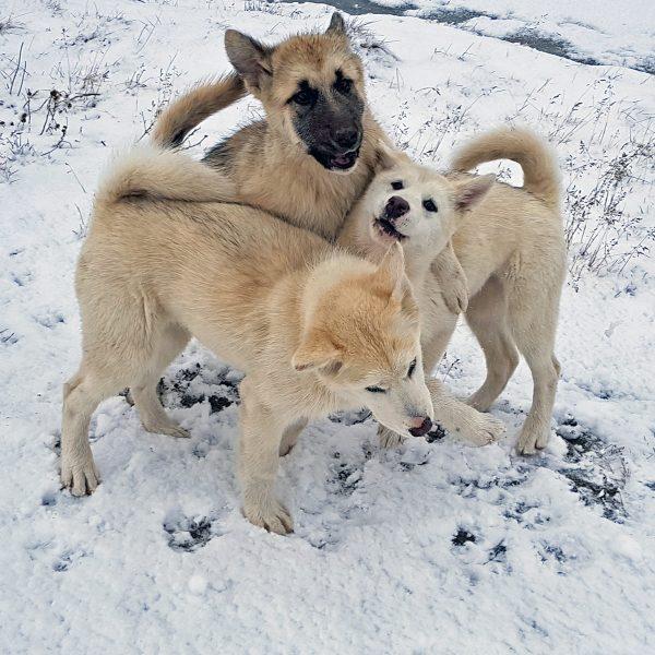 Hundies in Ilulissat