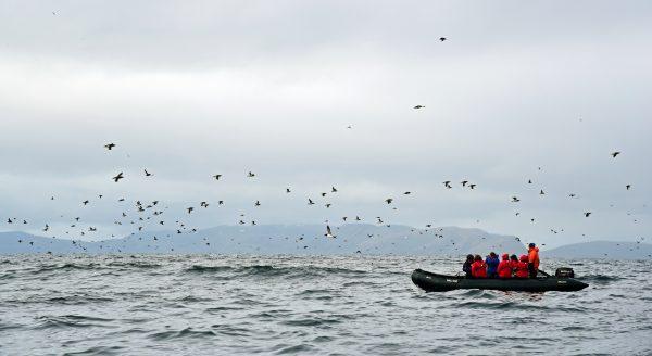 Die Vogelwelt von Gjesværstappan Islands, Norwegen