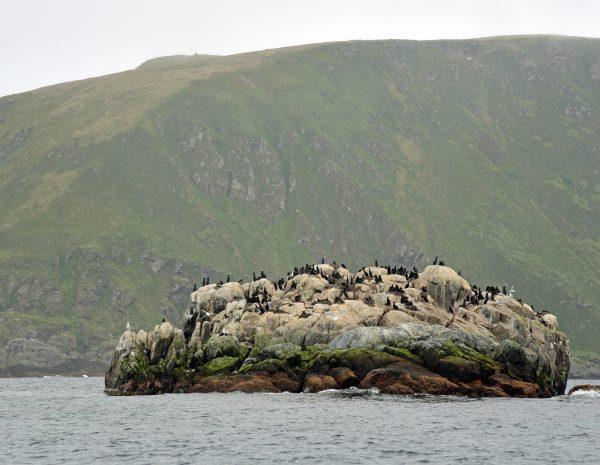 Kormorane auf Gjesværstappan Islands, Norwegen