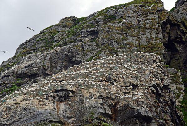 Basstölpel auf Gjesværstappan Islands, Norwegen