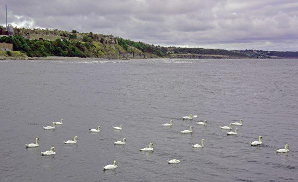Schwäne auf Gotland