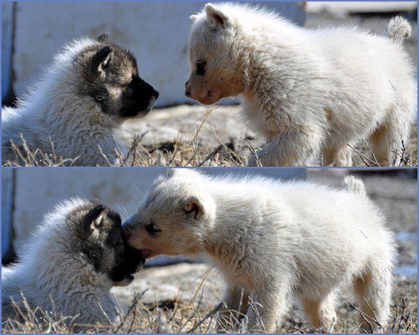 Junge Grönlandhunde in Ilulissat
