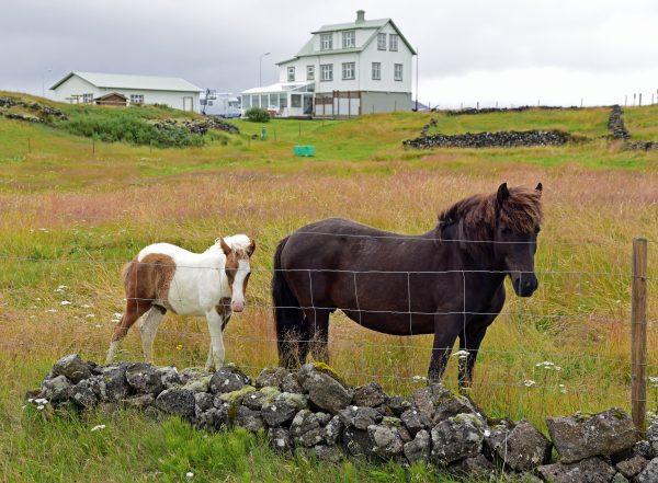 Pferde in der Umgebung von Grundavik