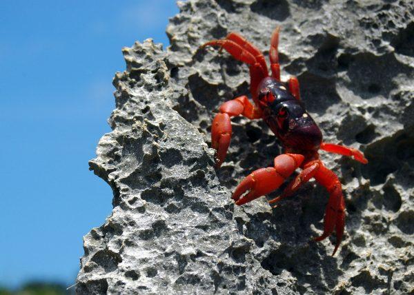 Eine rote Christmas Island Crab