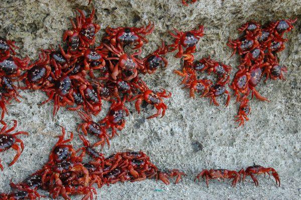 Viele rote Christmas Island Crabs