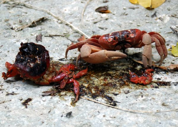 Ein roter Christmas Island Crab (Kannibale) hat Hunger