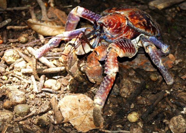 Eine Robber Crab