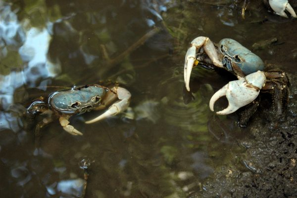Blue Christmas Island Crabs