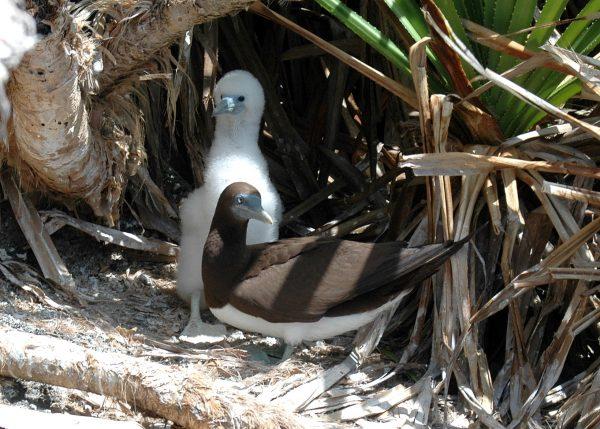 Brown Booby mit Kind auf Christmas Island