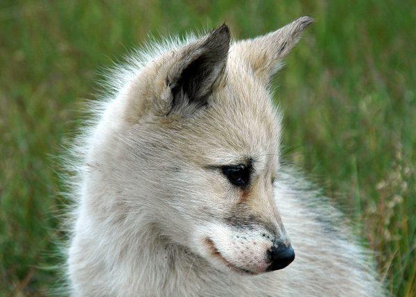 Ein süßer Grönland Hund