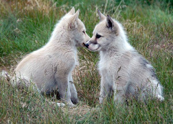 Zwei süße Grönland Hunde