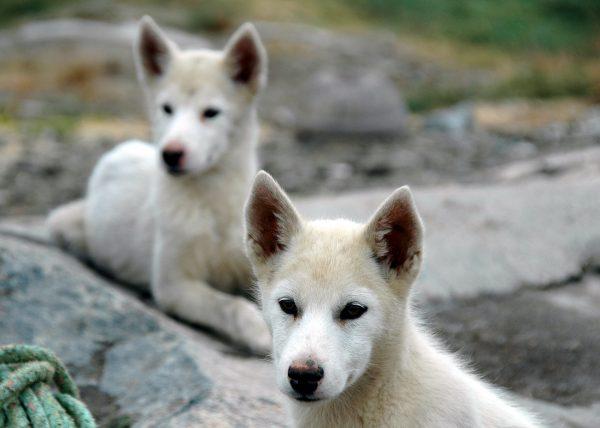 Grönland Hundies