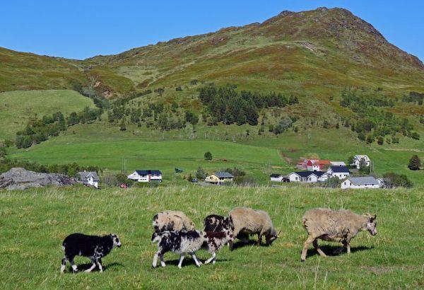 Schafe im Lofoten Viking Museum, Norwegen