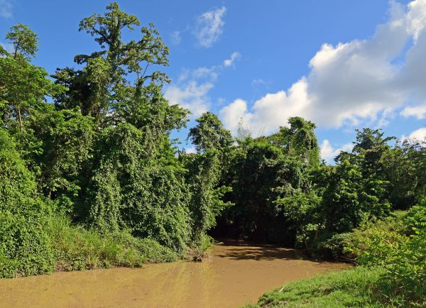 Mangroven-Wanderweg bei der Maison de la Canne in Martinique