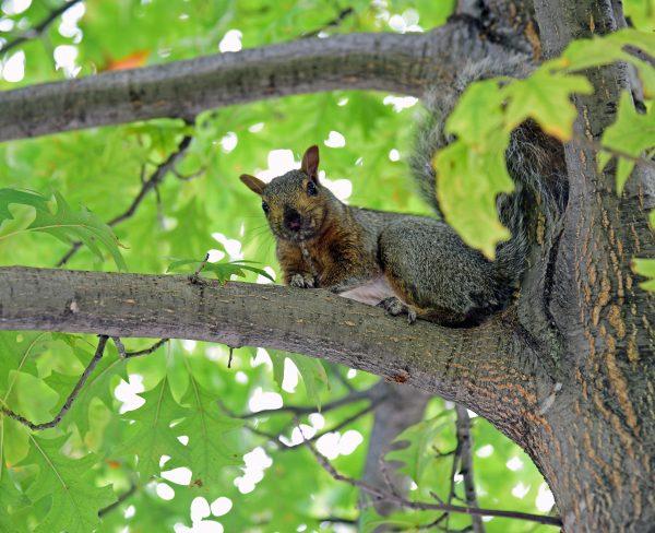 Ein wildes Eichhörnchen in Montréal