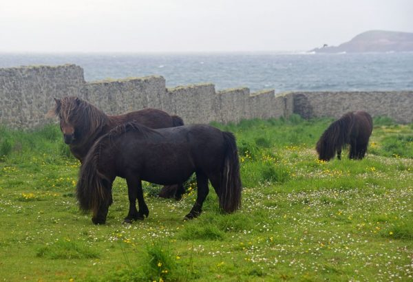 Shetland-Ponys in Shetland, Schottland