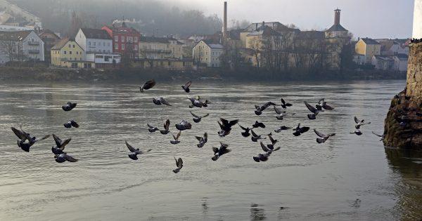 Vögel am Schaiblingsturm in Passau