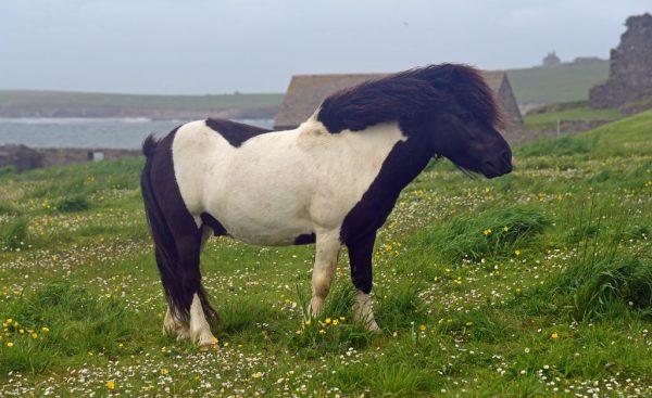 Ein Shetland-Pony in Shetland, Schottland