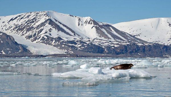 Ein Seehund im Woodfjorden, Spitzbergen