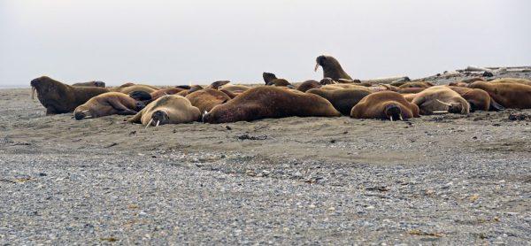 Walrosse auf Poolepynten, Spitzbergen