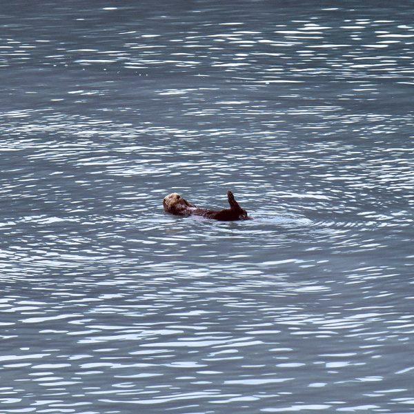 Ein Otter im Kenai-Fjords-Nationalpark
