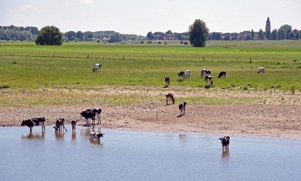 Können Kühe schwimmen?