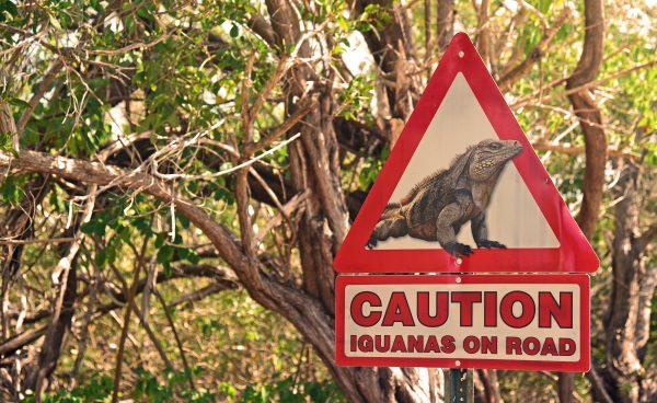 Warnung vor Iguana, Cayman Brac