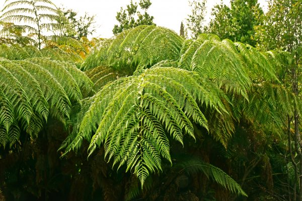 Farne im Pumalin Douglas Tompkins National Park