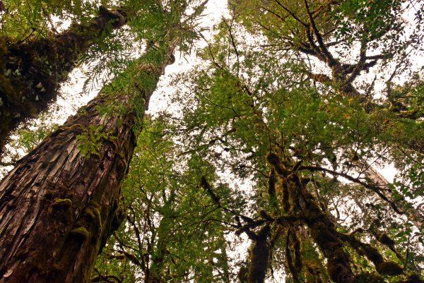 Alercen im Pumalin Douglas Tompkins National Park