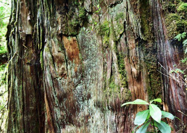 Ein Stamm von einer Alerce im Pumalin Douglas Tompkins National Park
