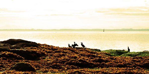 Vögel am Strand nahe der Festung Agüi in Chiloé