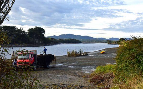Algen-Ernte in Chiloé