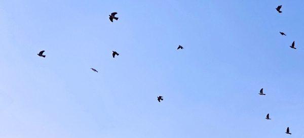 Vögel am Himmel von Hochheim