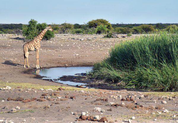 Giraffen-Frühschoppen im Etosha Nationalpark