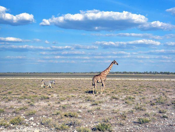 Zebra und Giraffe im Etosha Nationalpark
